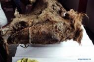Останки коня из монгольского погребения в горном Алтае