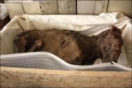 мумия кобылы из захоронения в монгольском Алтае